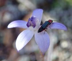 Short, horizontally spreading petals and sepals