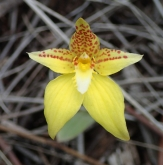 Markings and length of petals and sepals vary a lot