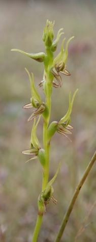 Up to 40 yellowish-green flowers