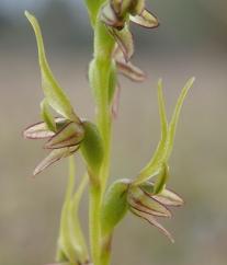 Short, forward facing petals,