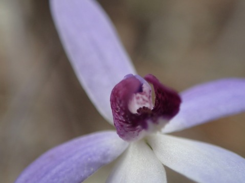Dainty blue orchid
