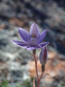 Blue, purple or pink flowers 10 - 20 mm across