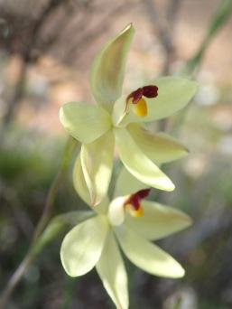 Broad spreading petals and sepals