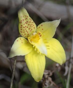 Short, broad petals and sepals