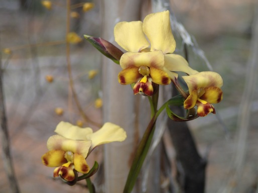 Up to 7 pale-yellow, light-brown flowers