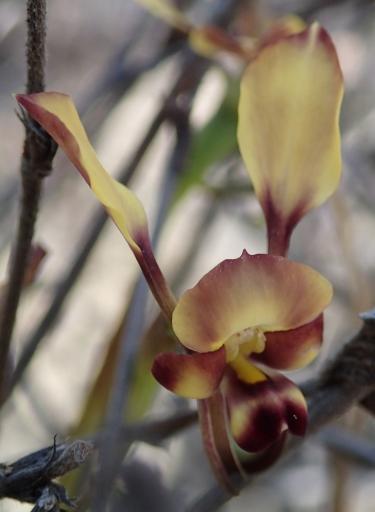 Broad, elongated petals.