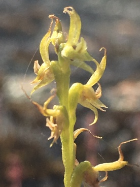 Past it's prime. By the length of the Lateral sepals appears to be a Little laughing leek orchid