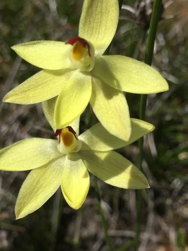 Broad, spreading petals and sepals