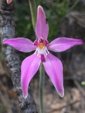 Prominently tri-lobed labellum