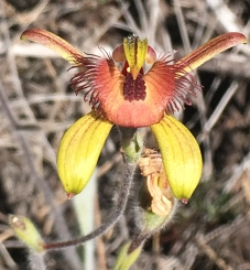 Very broad labellum, with 4 - 6 rows of short, thick, crowded calli