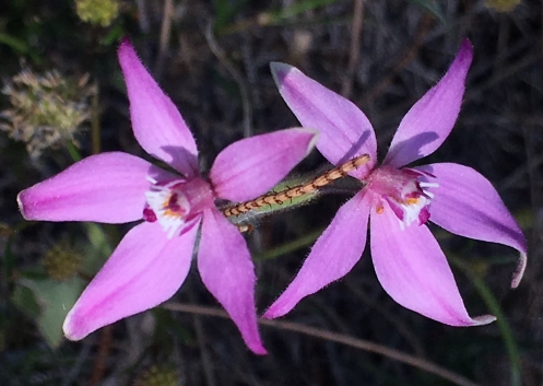 Up to 4 flowers per orchid