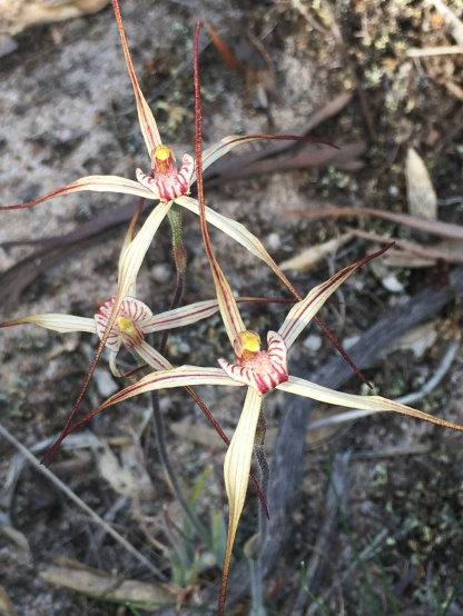 Reddish-brown to dark brown tails to petals and sepals