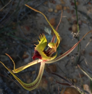 Greenish-yellow, red tipped labellum