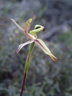 Also called Clown orchid, man orchid and jack-in-the-box.