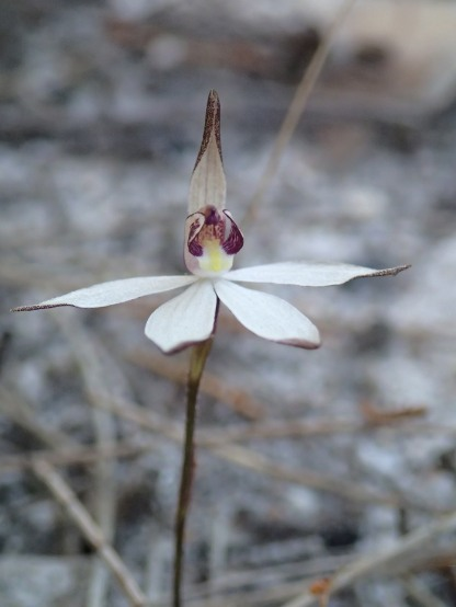 Small tri-lobed labellum
