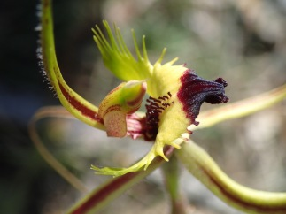 Red-tipped labellum, with long comb like fringe segments