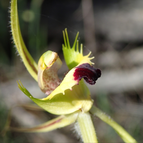 Red tipped labellum