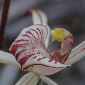 Red-striped smooth-margined labellum