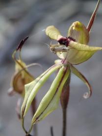 Possible pollinator