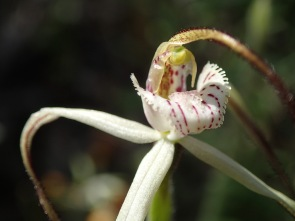 Relatively broad, red-striped labellum with serrate to dentate fringe segemnts