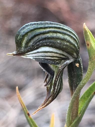 United petals and dorsal sepal form hood