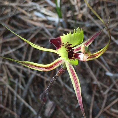 Greenish-yellow, red-tipped labellum