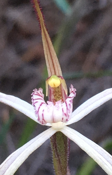 White, red-striped labellum with dentate fringe segments