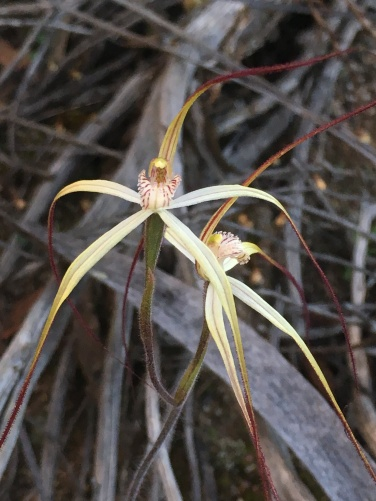 Spreading petals and lateral sepals