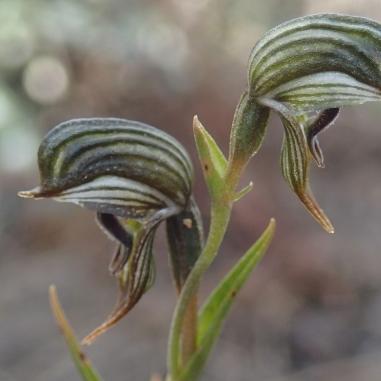 Green to dark brown, white striped flowers