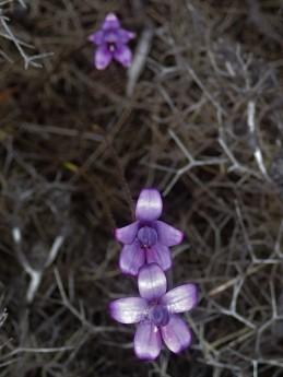 Glossy purple flowers