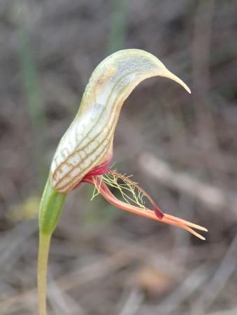 Short-beaked bird orchid