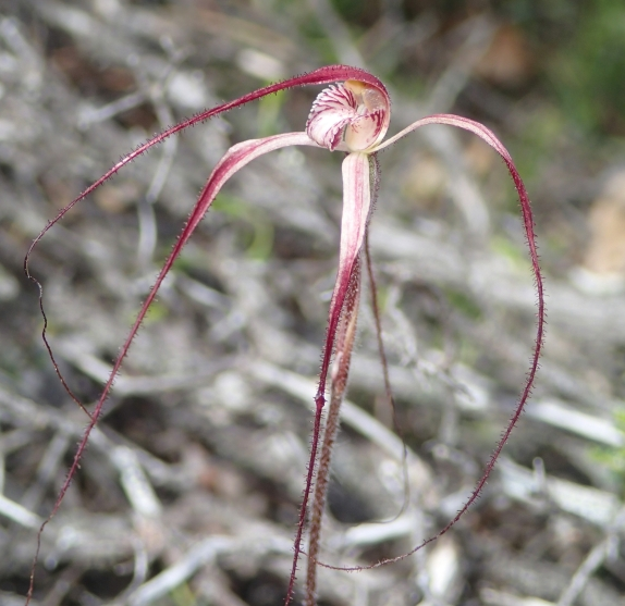 Pendulous petals and sepals covered in deep-red hairs