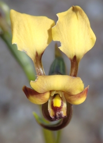 Predominately yellow, brown marked flowers