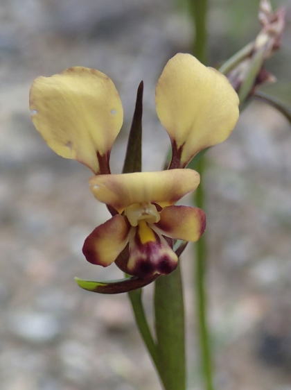 Tri-lobed labellum with broad, spreading lateral lobes and a broad, flattened to convex mid lobe