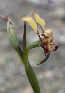 Erect petals and reflexed dorsal sepal