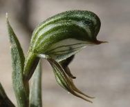 Petals and dorsal sepal form a hood