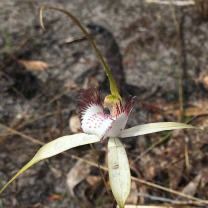 White labellum with 4 or more rows of pale red calli