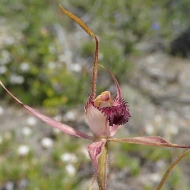 Stiffly held petals and sepals