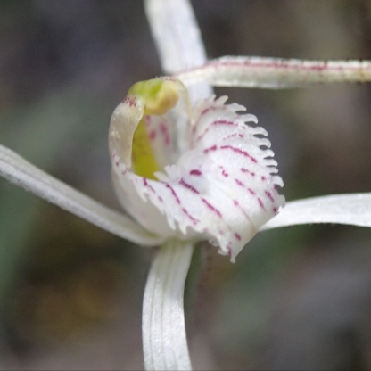 Smaller labellum than other wispy's