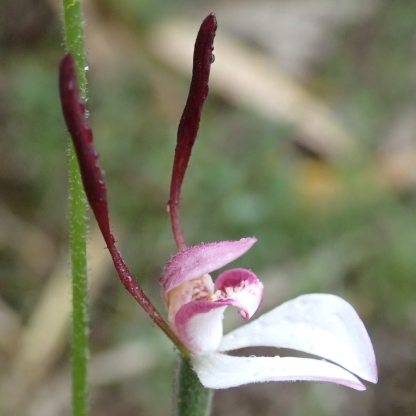 Narrow, erect, ear-like petals