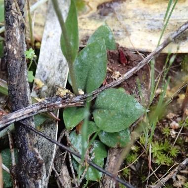 Rosette of leaves, 20 to 50mm across