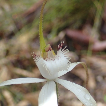 Large white labellum, with narrow fringe segments