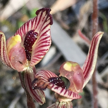 Up-swept, red-striped labellum
