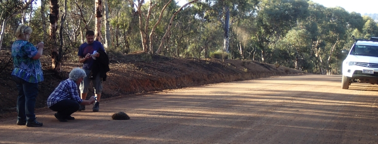 Echidna on the road