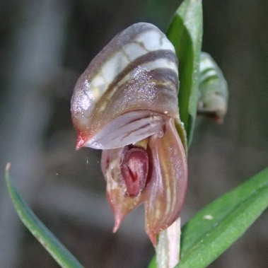 Insect like labellum