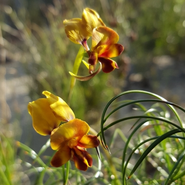 Green Range donkey orchid