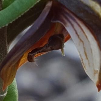 Pterostylis sanguinea
