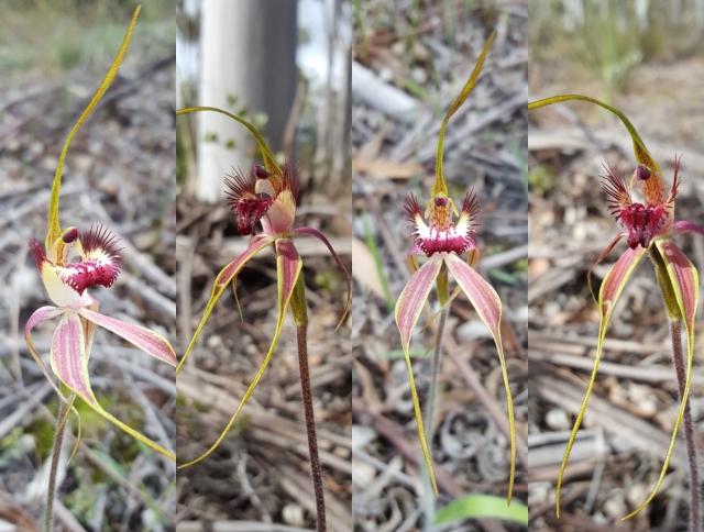Caladenis decora