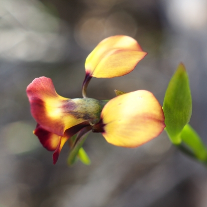 Broad petals