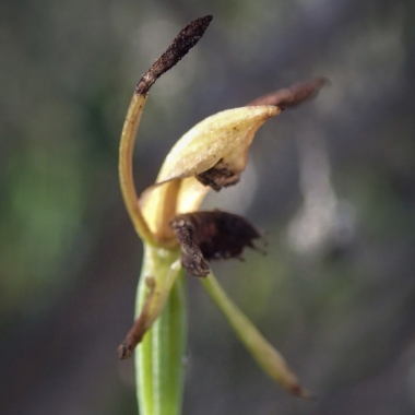 Also called Fringed hare orchid due to the labellum